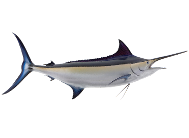 Black Marlin Fishmount