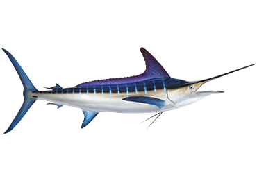 Striped Marlin Fish Mount