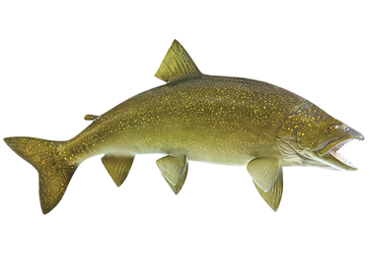 Lake Trout Fishmount