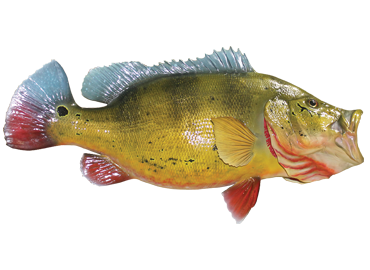 Peackock Bass Fishmount