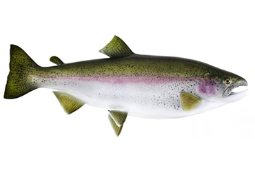Rainbow Trout Fishmount