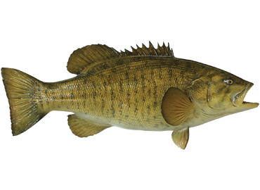 Smallmouth Bass Fishmount