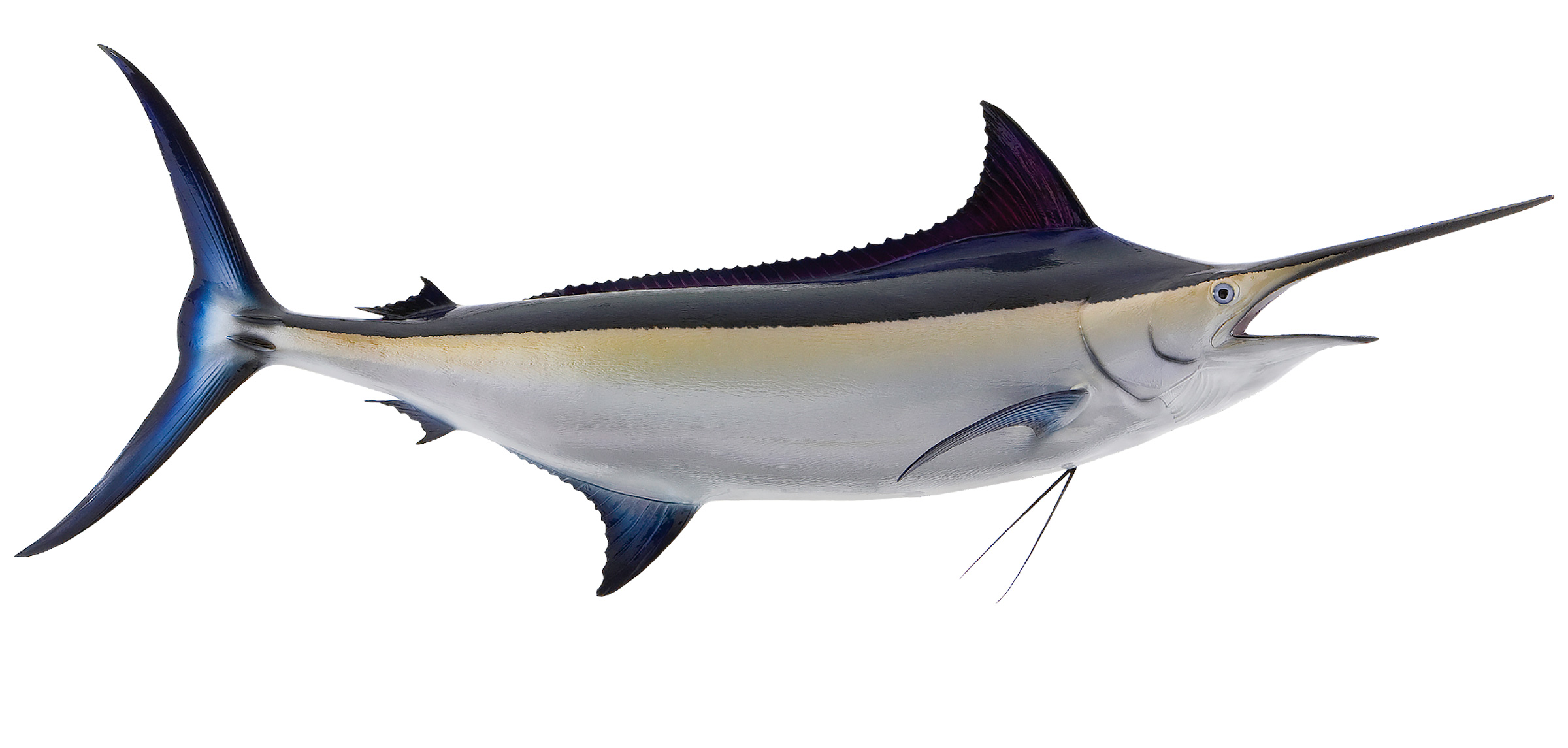 black marlin fish replica mounted black marlin