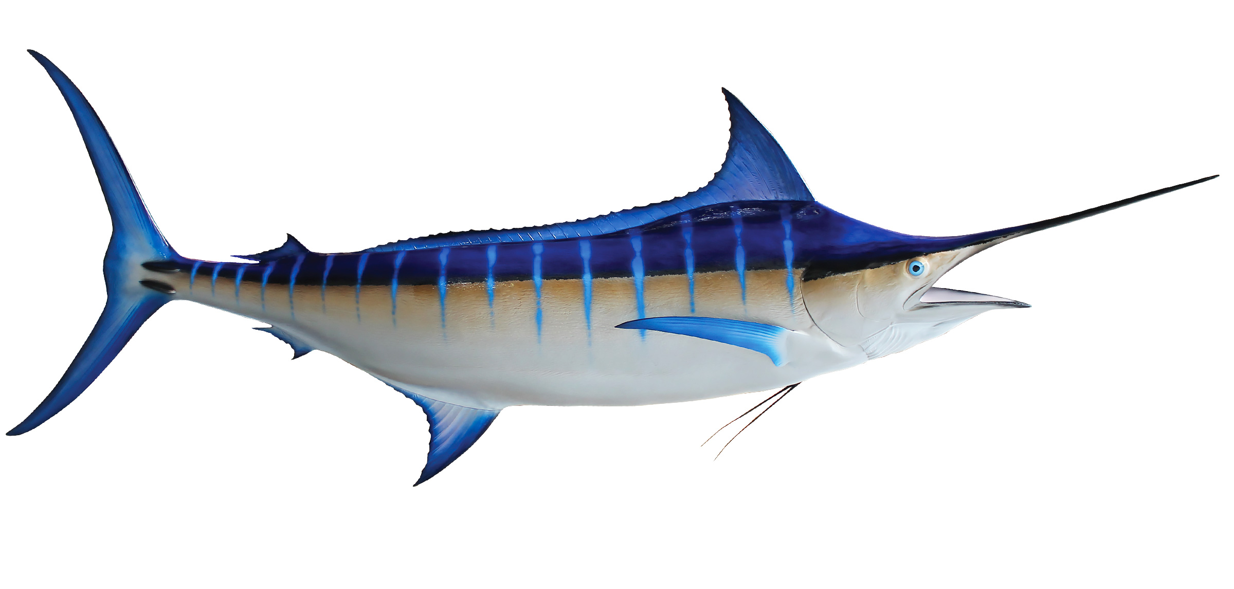 blue marlin fish replica  mounted blue marlin shark clip art images shark clipart free