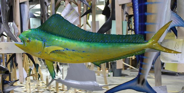 Cow Dolphinfish replica at Gray Taxidermy