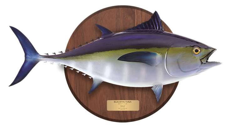 Blackfin Tuna mount on a wooden plaque