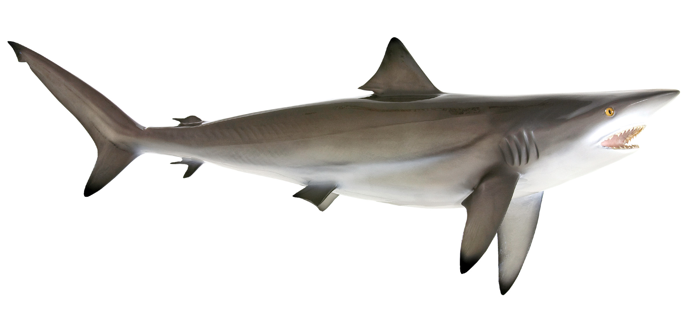Grey reef shark vs bull shark - photo#14