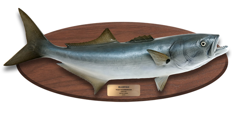 Bluefish mount on wood plaque