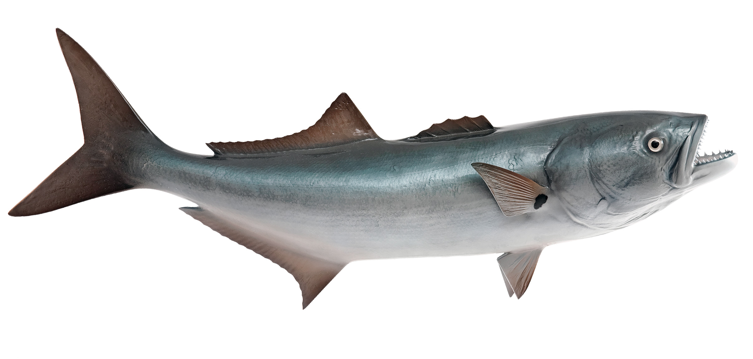 Bluefish replica mounted fish fish trophy for Blue saltwater fish