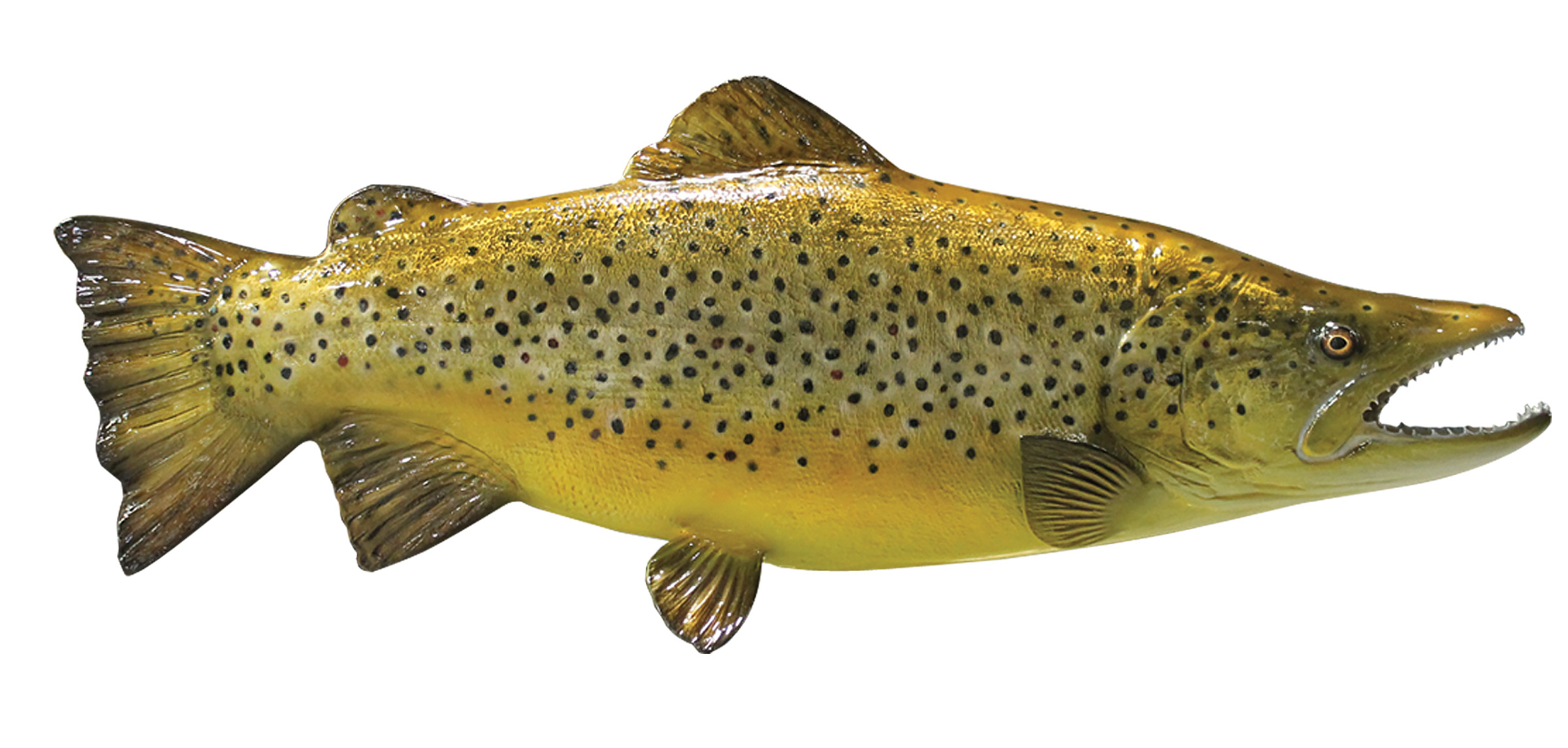 Brown trout fish mount mounted fish fish trophy for Trout fish pictures