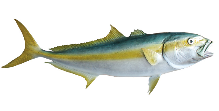 california yellowtail replica mounted fish fish trophy