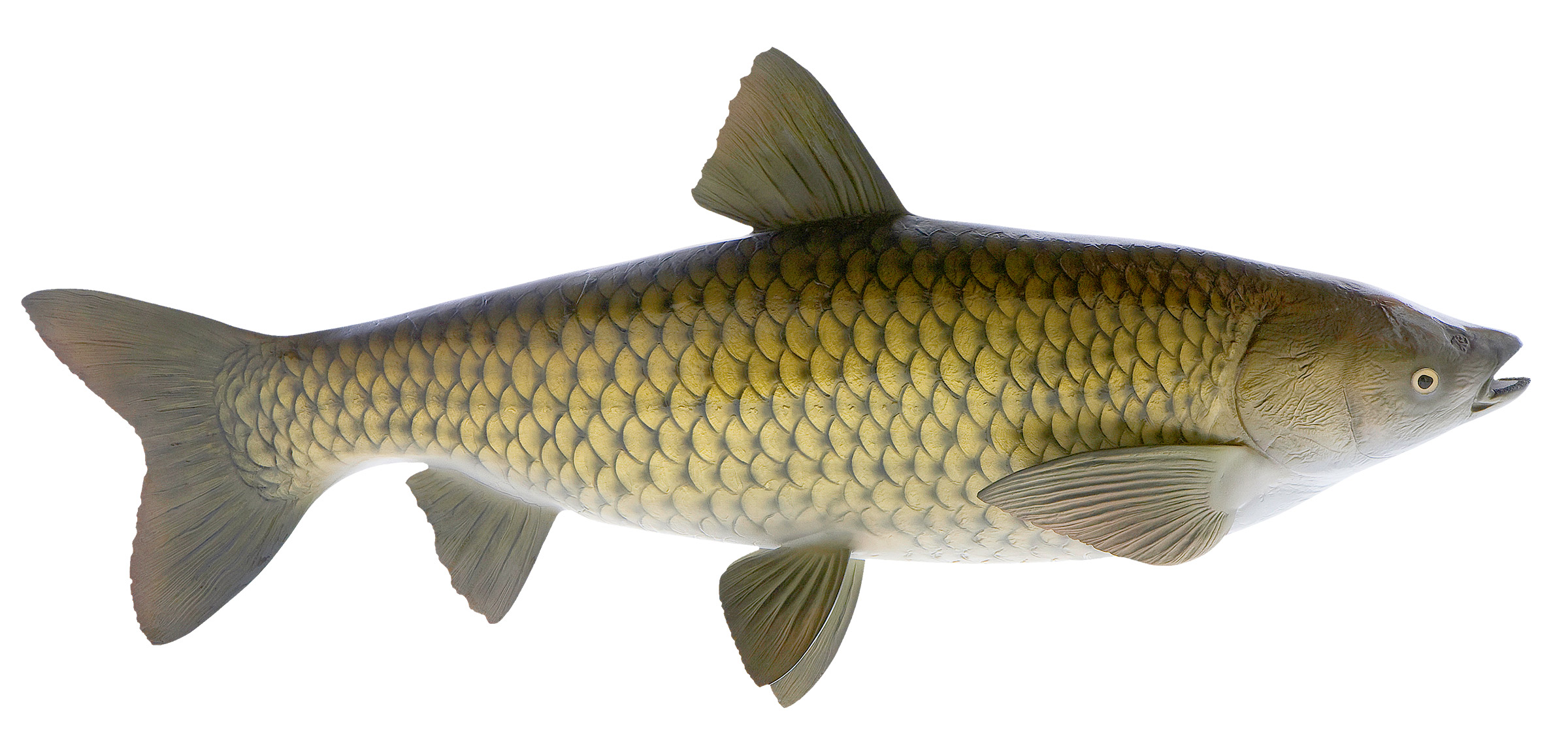 Carp fish mount mounted fish fish trophy for Carp fish pictures