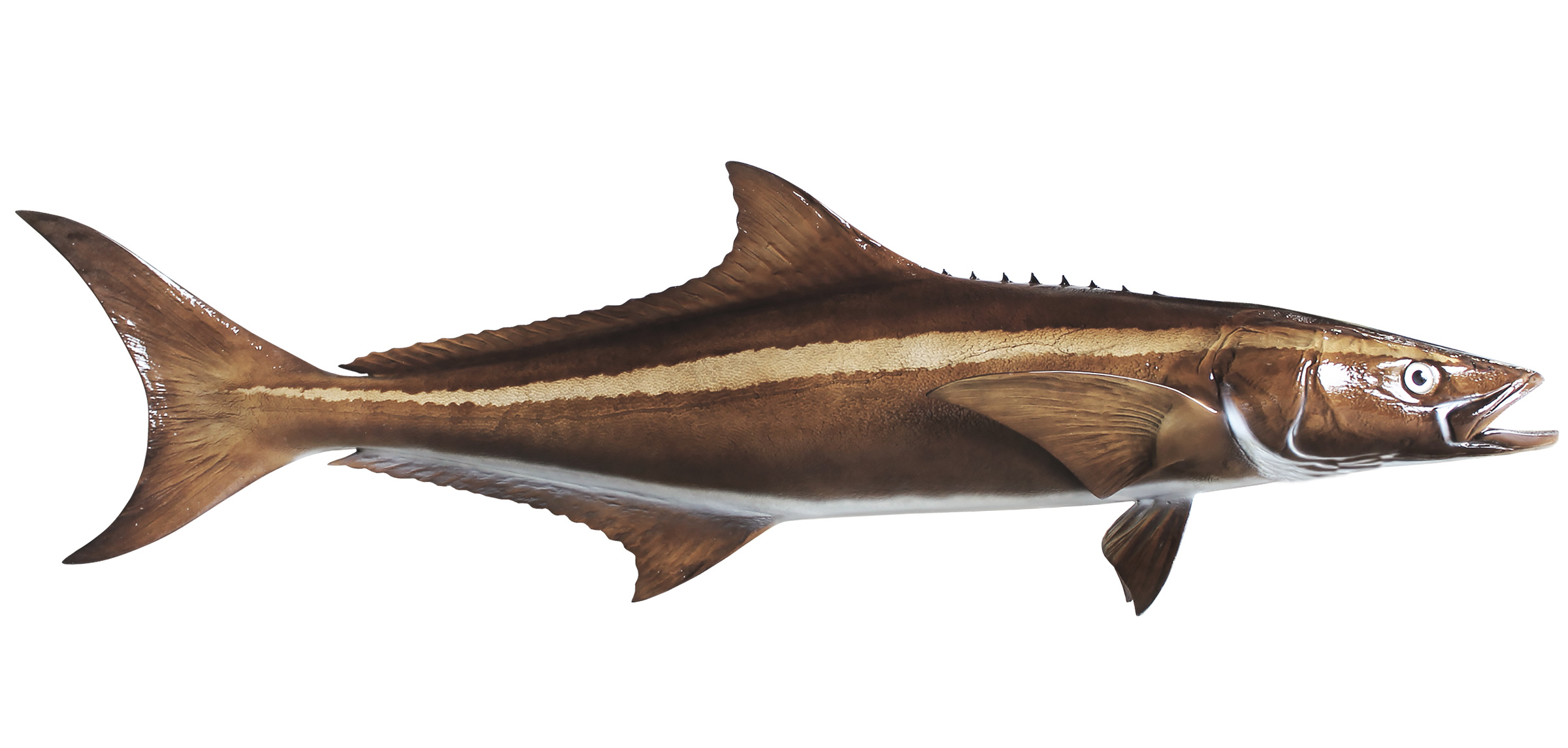 Cobia fish images galleries with a bite for Fish fish fish fish fish