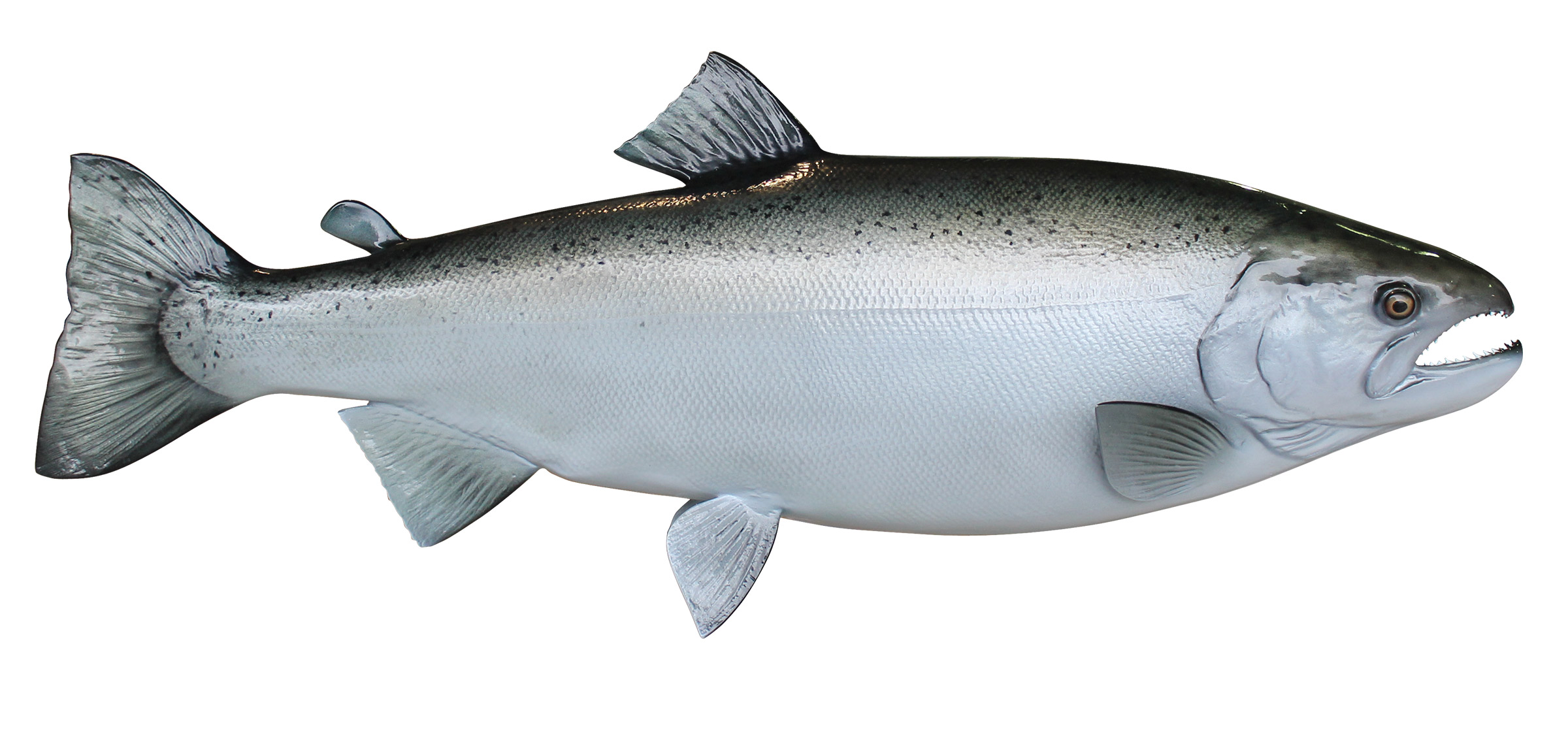 Image gallery silver salmon for Salmon fish images