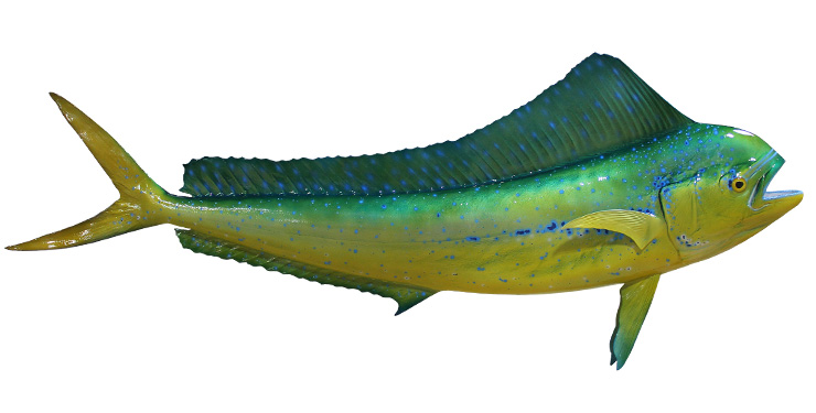 Cow Dolphinfish Fishmount