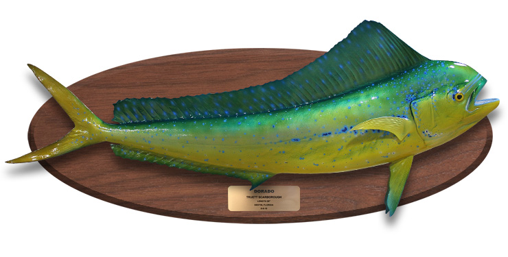 Cow Dolphinfish mount on wood plaque