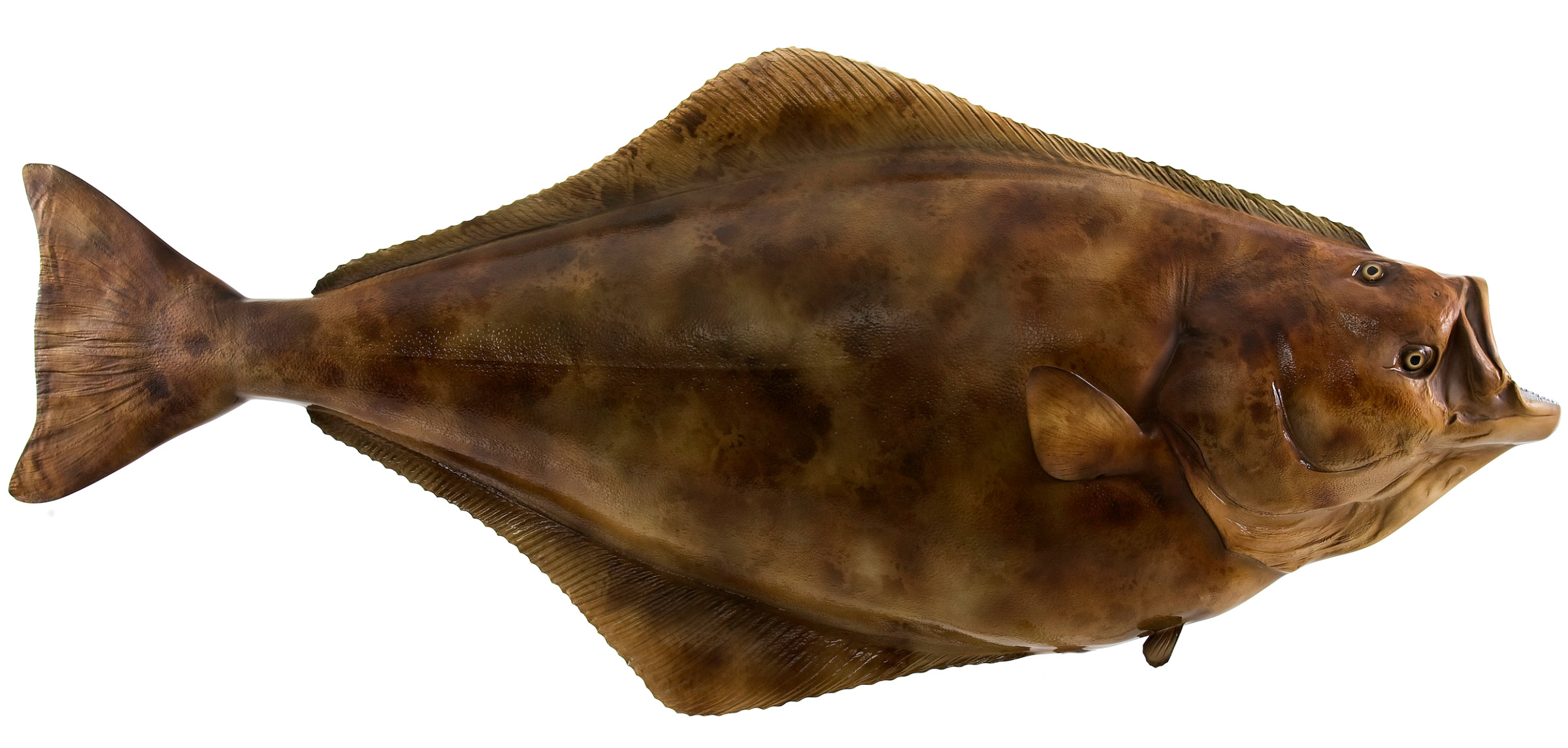 Image result for halibut