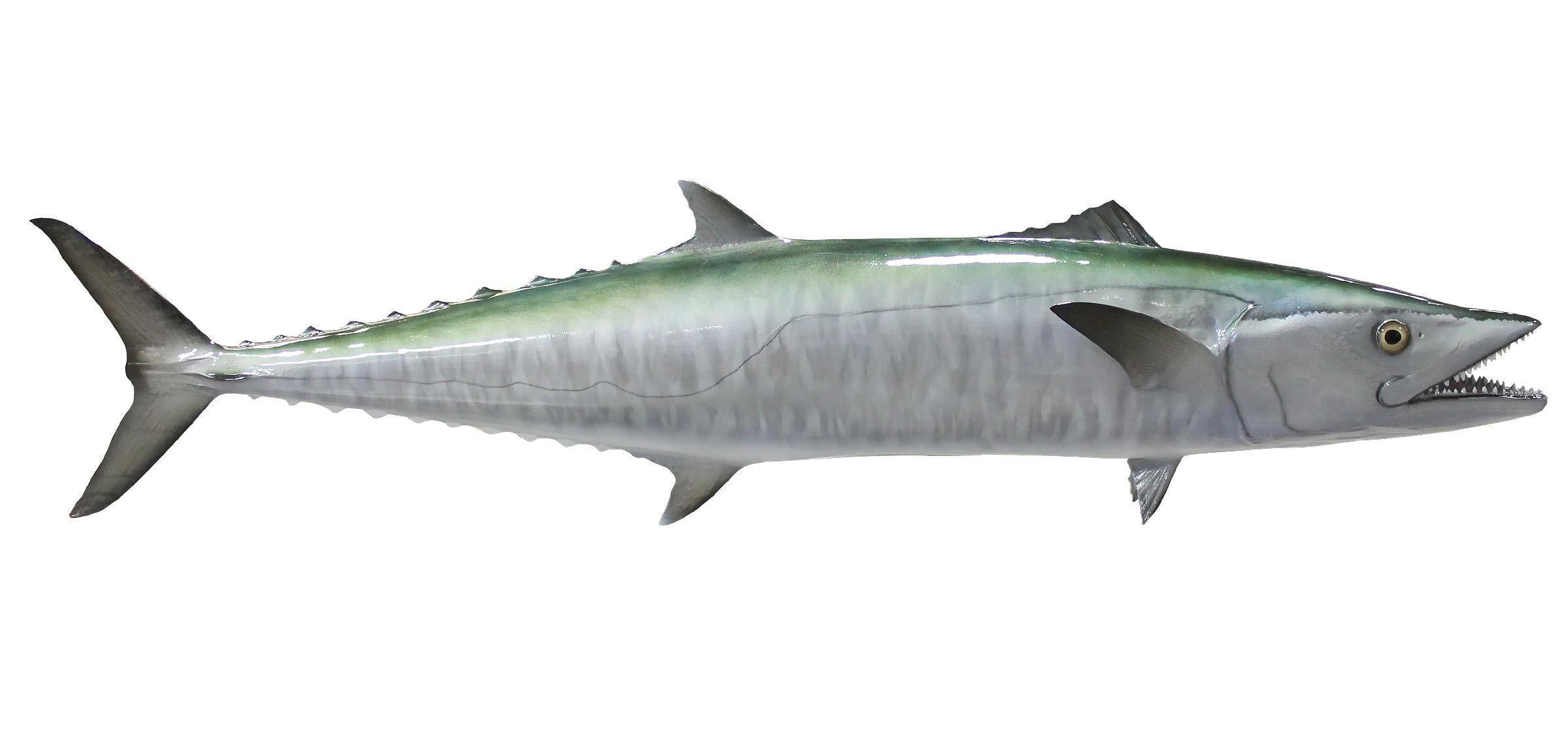 Kingfish Mount Mounted Fish Fish Trophy