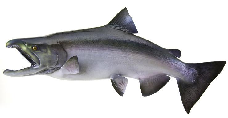 King Salmon Fish Mount Mounted Fish Fish Trophy