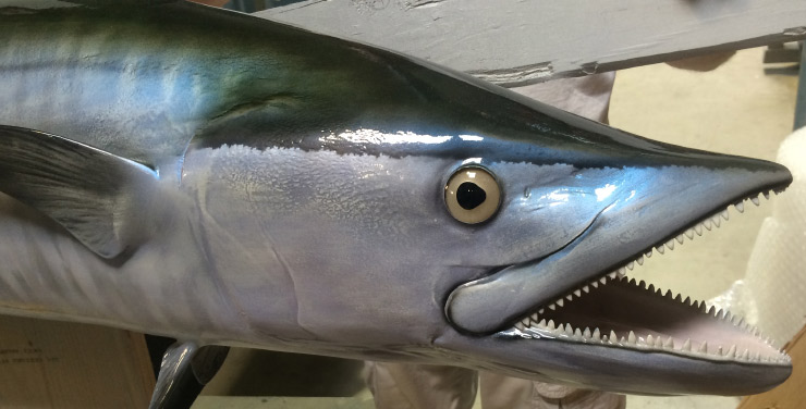 King Mackerel closeup