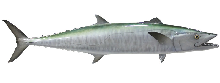 King Mackerel Fishmount