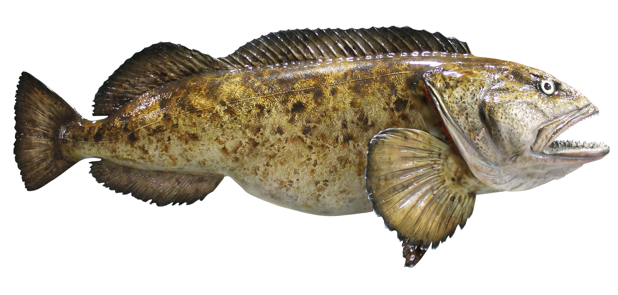 Lingcod mount mounted fish fish trophy for What is cod fish
