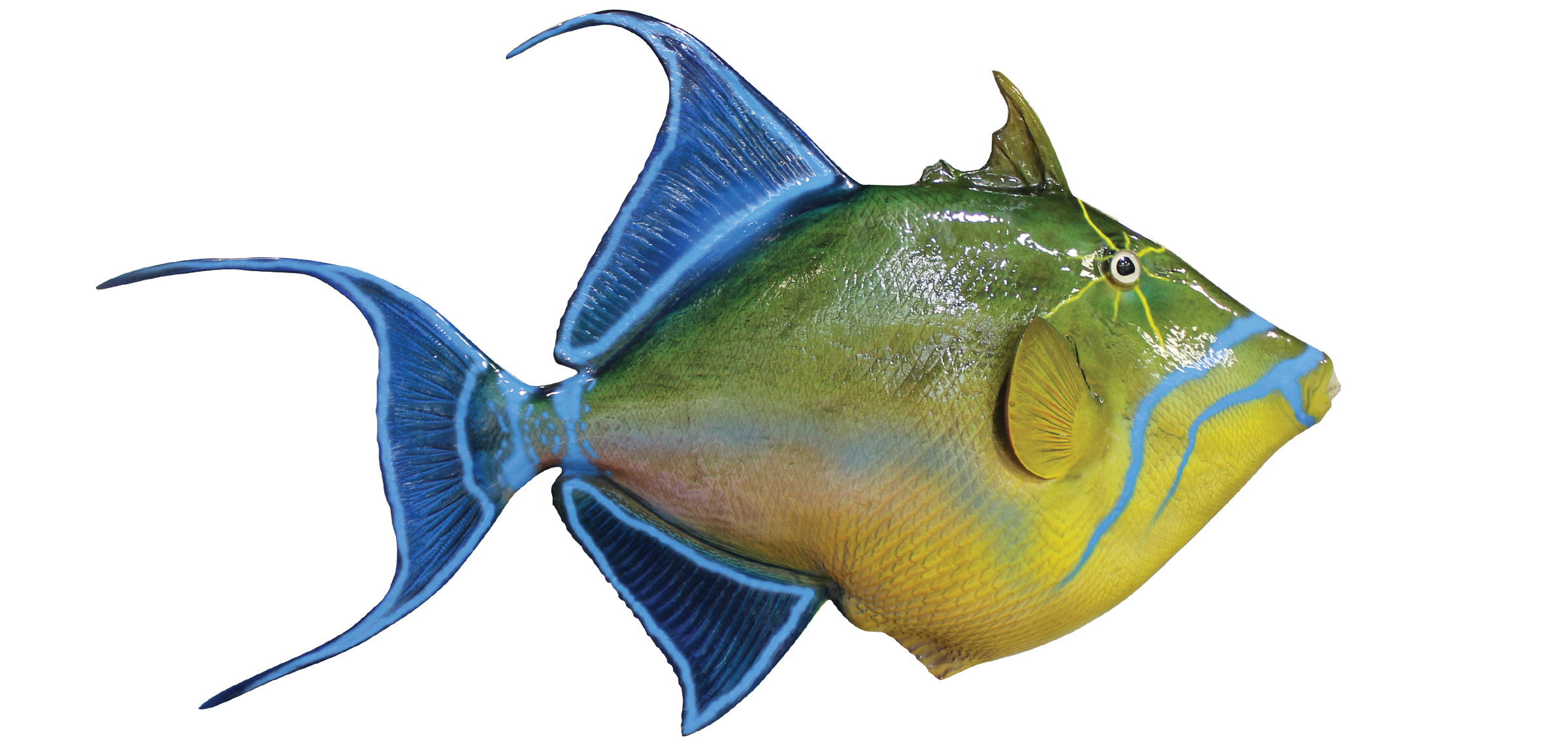Queen Triggerfish Mount | mounted fish | fish trophy