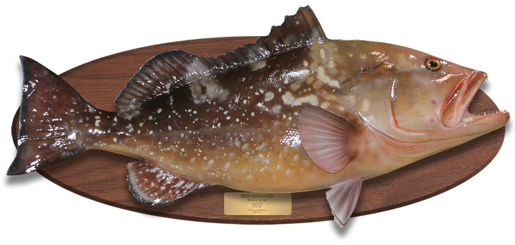 Red Grouper fishmount on a wood plaque