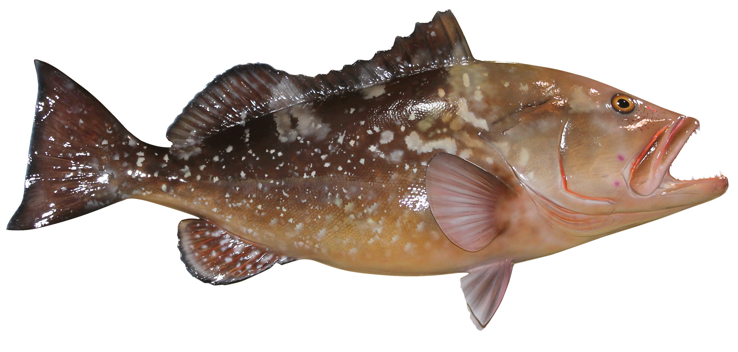 Red Grouper Fish Replica | mounted fish