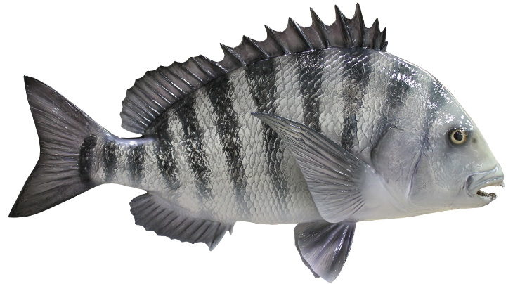 Sheepshead mount