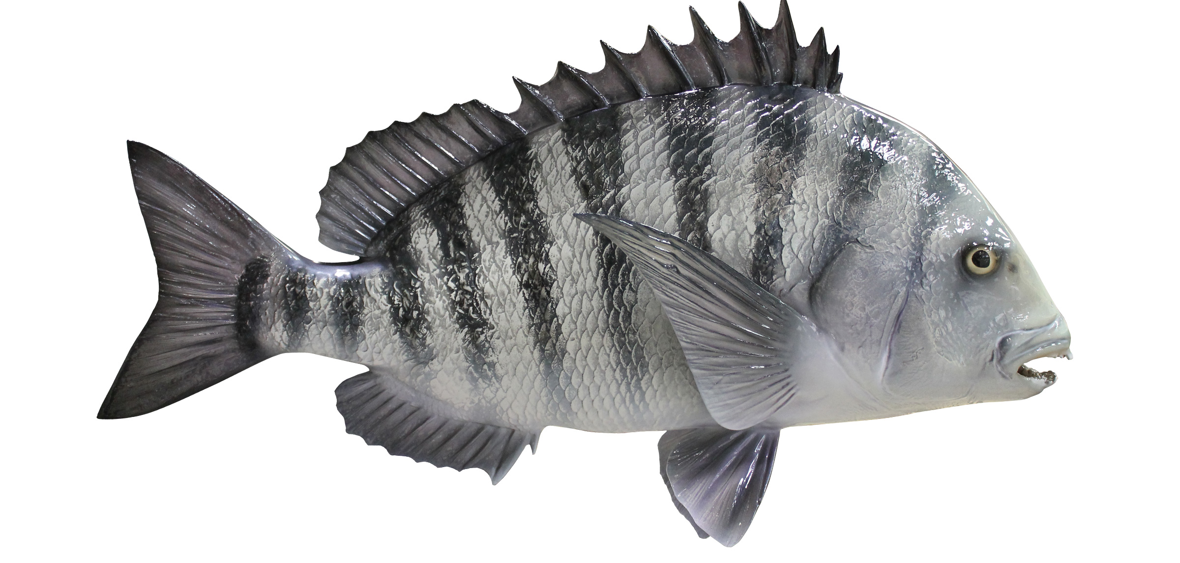Spoilers this sub in a nutshell undertale for Sheepshead fish eating