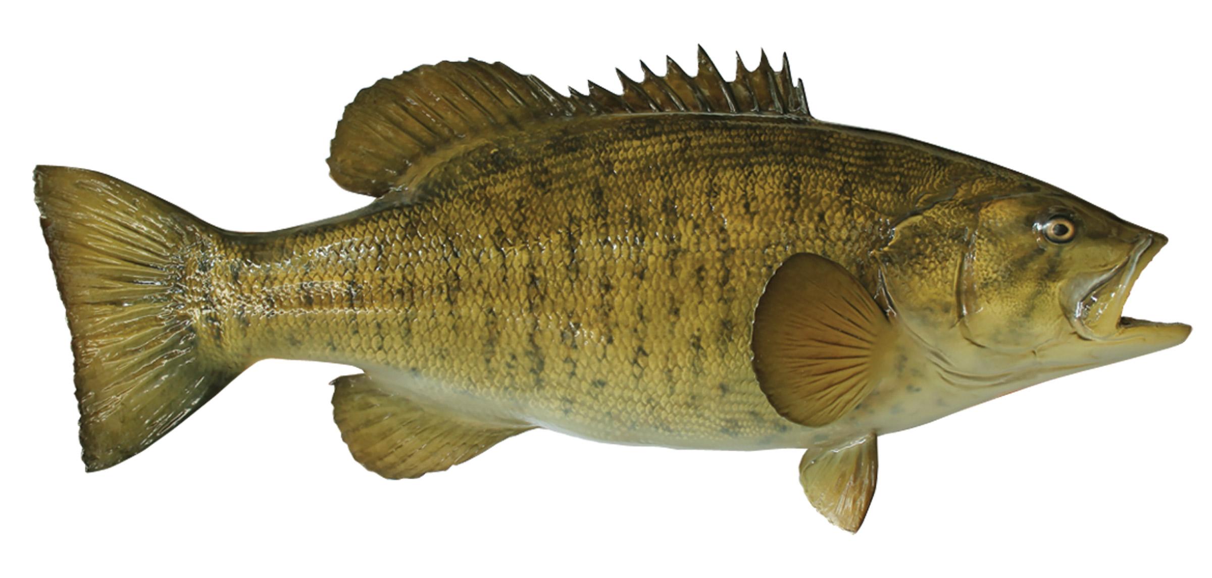 Small mouth Bass Fish ...