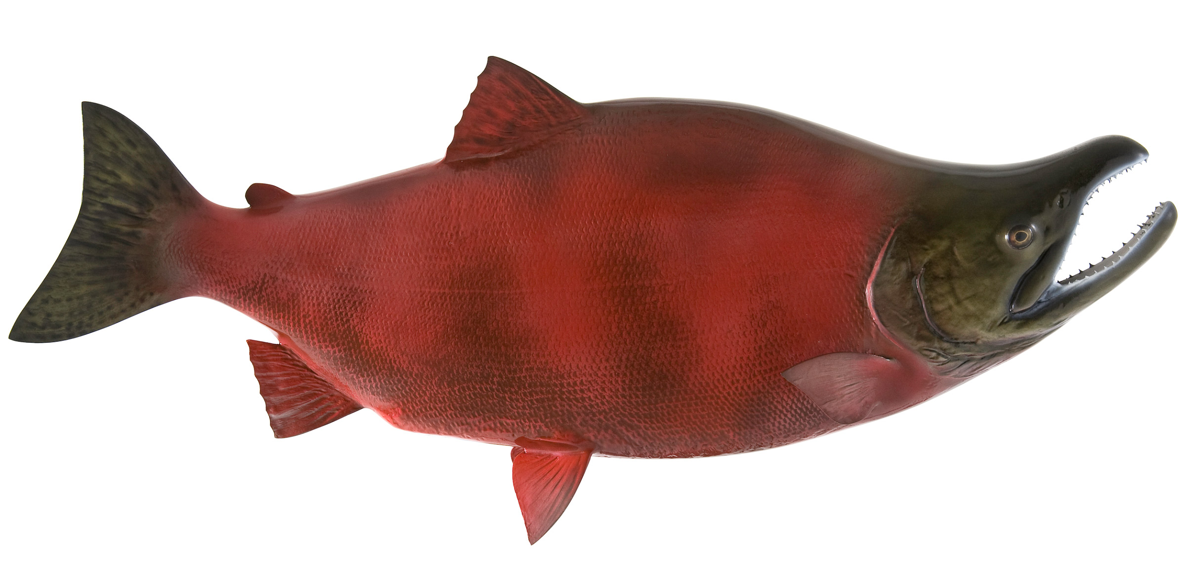 Red salmon fish - photo#34