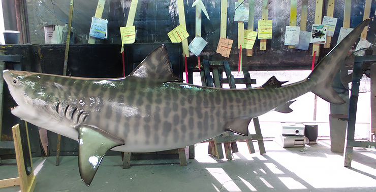 Tiger Shark Replica broad view