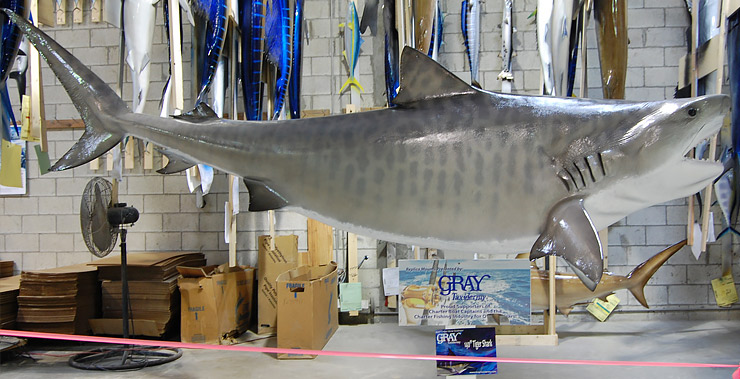 Tiger Shark reproduction by Gray Taxidermy head view