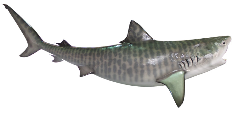 an overview of the tiger shark In summary, it appears that the tiger sharks sampled in this study were  genetically monogamous these findings may have implications for the.