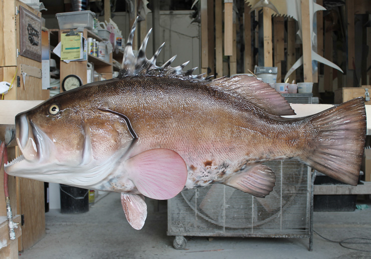 Warsaw Grouper mount at Gray Taxidermy