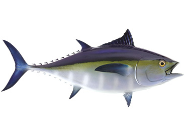 Blackfin Tuna Fishmount