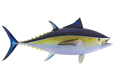 Bluefin Tuna Fishmount