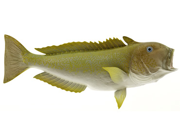 Golden Tilefish Fishmount