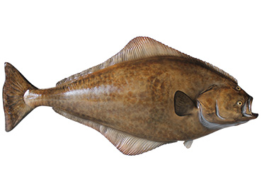 Atlantic Halibut Fishmount