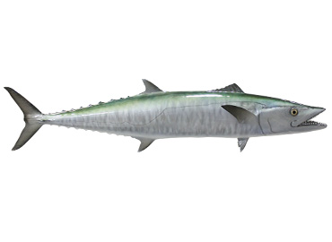 Kingfish Replica