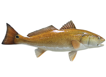 Redfish Fishmount