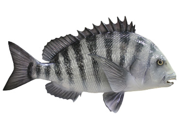 Sheepshead Fishmount