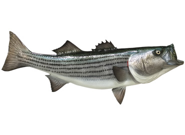 Striped Bass Fishmount
