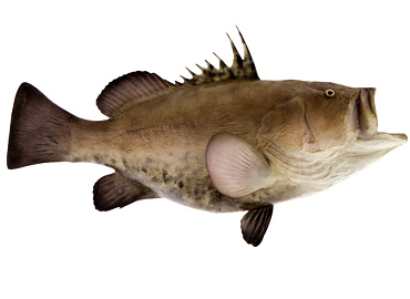 Warsaw Grouper Fishmount