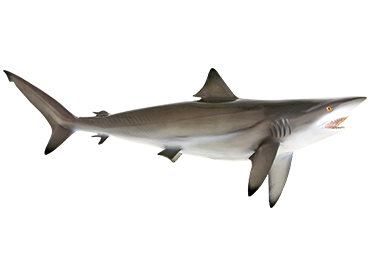 Blacktip Shark mount