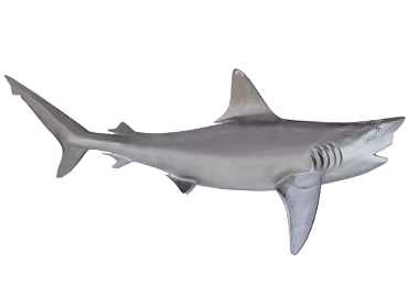 Reef Shark mount