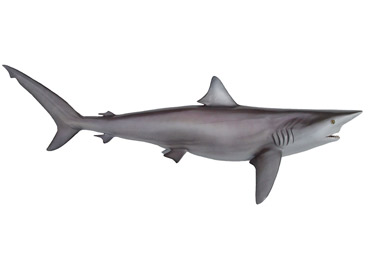 Silky Shark mount