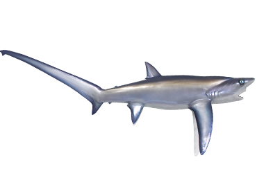 Thresher Shark mount